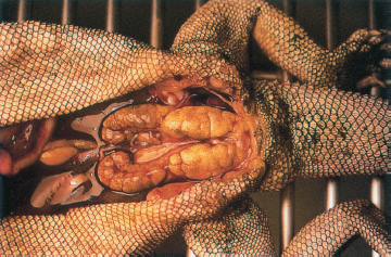 Diseases Of Bearded Dragons And Their Treatments Diy 12 Ways Of Care For Pet Bearded Dragon Rogue Shock